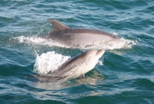 wild dolphins / more on www.portugaldreamcoast.com