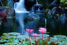 lekníny a lotusy