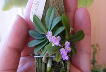 Mini e Micro Orquídeas