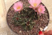 echinocereus / cactus, succulents, bloom, flower, plant, giromagi