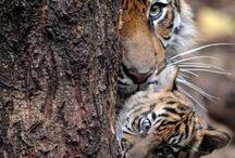 Tigres y Tigritos.