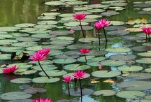 Lotus and water lilies