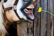 Hafling / Vše o koních hafling...