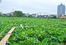 Mùa Sen nở rộ / Viet Nam lotus season, Mùa Sen nở rộ, hoa sen vàng, hoa sen trắng, hoa sen hồng