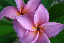 How To Grow | Frangipani / How to grow frangipanis and beautiful flowers
