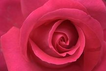 Very Beautiful Roses