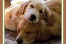 ~DOGS:  GOLDENS!~ / by Robin Dennison Jarosz
