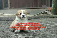Von Javelline Kennel jual anjing Pembroke Welsh Corgi