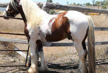 Horsey stuff - cobs