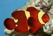 Jenis Ikan Nemo atau Ikan Badut