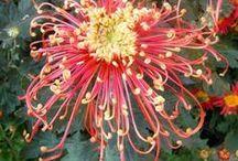 chrisantemum