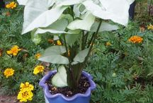 Arrowhead Houseplant / The Arrowhead Houseplant is super-friendly, no-fuss, and easy to grow.