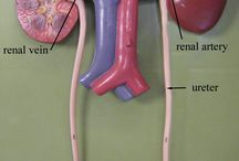 Body Systems: Urinary