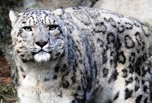 Snow Leopard - Снежный барс / Единственный вид своего рода в семействе кошачьих. Снежный барс по размерам и внешнему облику очень похож на леопарда. Несмотря на свое английское название — Snow leopard, барс не состоит в близком родстве с крупными кошками. По ряду морфологических и поведенческих признаков снежный барс занимает промежуточное положение между крупными кошками (лев, тигр, ягуар, леопард) и мелкими (рысь, каракал, камышовый, степной и другие дикие коты).