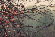 Apple fruit / Apple fruit