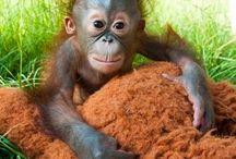 Csimpánz, Orángután, Gorilla :)
