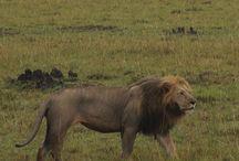 Safari en Kenia / Todo lo necesario para organizar tu viaje a Kenia con www.espressofiorentino.com