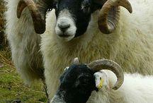 animalia | ovine & caprine