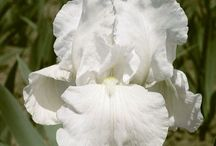 Bearded Iris Beauty / Iris plants are easy to grow, bursting with color, and water thrifty. Perennial Iris are tough, hardy perennials and a welcome sign of summer. We're excited to be carrying a variety of re-blooming varieties for summer 2017 planting.