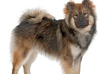 Eurasier / The breed was developed in Germany in 1960 by Julius Wipfel and Charlotte Baldamus. They wanted to create a wolf-like spitz with a family-dog temperament and developed the Eurasier by crossing the Wolfspitz with the Chow-Chow.   See more at: http://www.noahsdogs.com/m/dogs/breed/Eurasier#sthash.doLRR2fe.dpuf  www.NoahsDogs.com