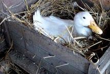Chicken & Duck Coop