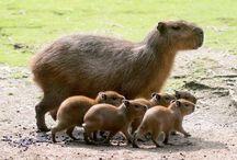 Kapybaror