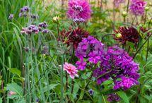 Zomerbloeiers / Dahlia, gladiolen, lelies