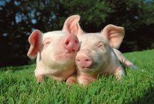Pig ❤