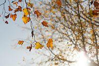 Autumn / Chiar daca este rece, vantul bate sau ploua, aerul rece de toamna iti impinge privirea spre maretia cerului... Si multumesti universului pentru albastru curat, pentru aerul care te purifica, pentru soarele care straluceste deosebit printre crengile negre,desfrunzite si pentru ceaiul aromat pe care il simti fierbinte pana in varful degetelor. Zambesti!
