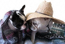 two French Bulldogs / The antics of two French Bulldogs.....smiles are contagious.