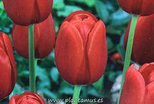 Tulipanes / Tulipanes,un bulbo de Otoño que alegrará la salida del invierno