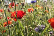 """Fleurs des champs / Certains d'entre vous, me disent qu'ils n'ont pas """"la main verte"""", mais que cela signifie-t-il ?  En réalité tout le monde peut s'occuper des végétaux, certains sont très minutieux, d'autres leur parlent et d'autres encore les laissent prendre leurs aises chez eux."""