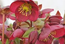 Hellebore Heaven / My Hellebore Collection