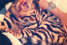 Toygers and Bengals / cats
