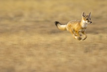 =:> Fox Run