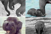 elephantasia
