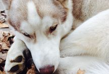All about siberian huskies  / Siberian Husky