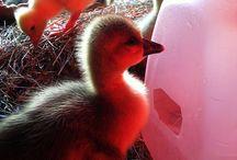 Ducks!!! / Quack / by C B