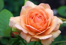 Roses, Roses / by Donna Capps