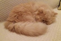 """Poupouce"" persian cat"