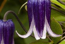 Kwiaty(clematis)