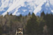 Волки/wolfs