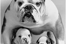 Bullies ! / All things Bulldog !