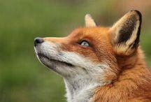 imagemaking - fox