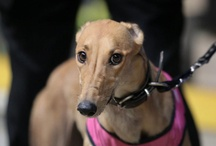 Gorgeous Greyhounds / I have been involved in greyhound racing for over forty years.  I currently have three racing greyhounds and a lot of retired racing greyhounds.  They make wonderful pets. / by Christine Mackenzie