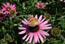 Motýl, kam se podíváš :) butterfly in botanic garden Masaryk university Kravi Hora Brno
