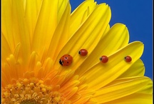 Sunflowers and ladybugs....