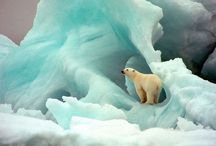 Polar Bears / Walrus