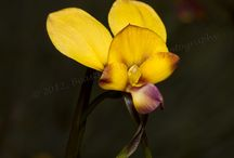 Western Australian native orchids / Sharing the beauty of WA's incredible native orchids.