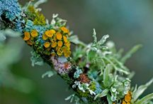 Lichens et Champignons / Lichen is symbiotic algae and fungi; mushrooms are fungi.